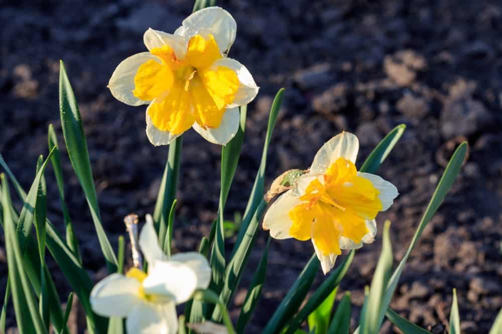 Split corona daffodils
