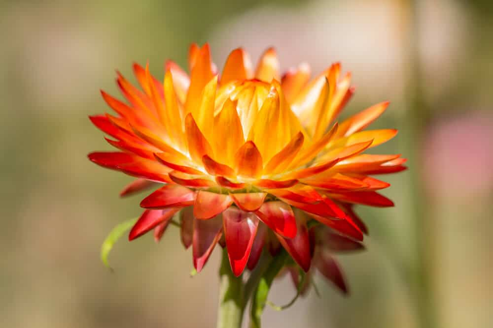 A fully-bloomed, orange strawflower.