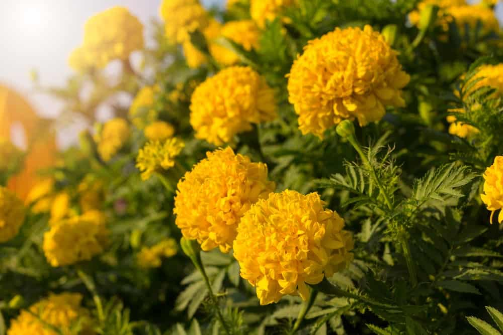 Advantages of growing marigolds
