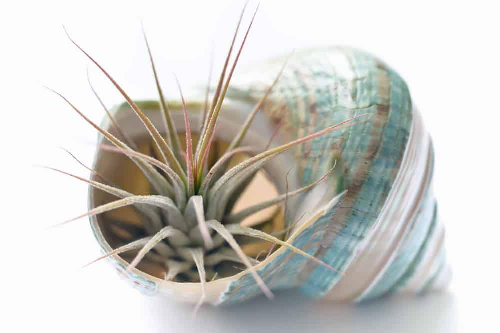 Tillandsias plant.