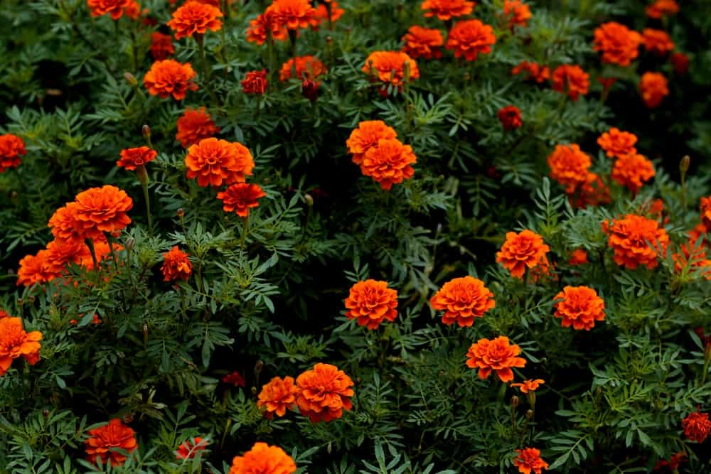 Triploid marigolds