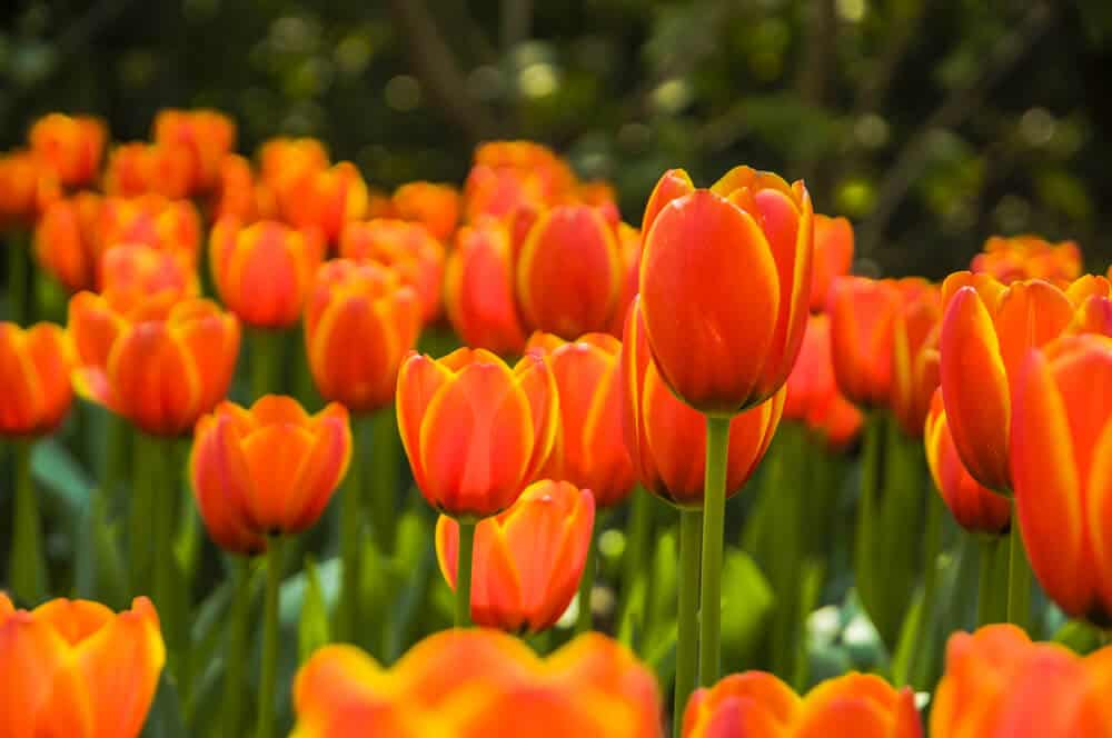 Orange tulips in a field.