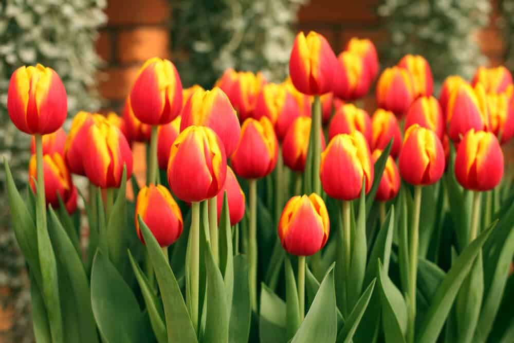 Orange tulips with yellow accents.