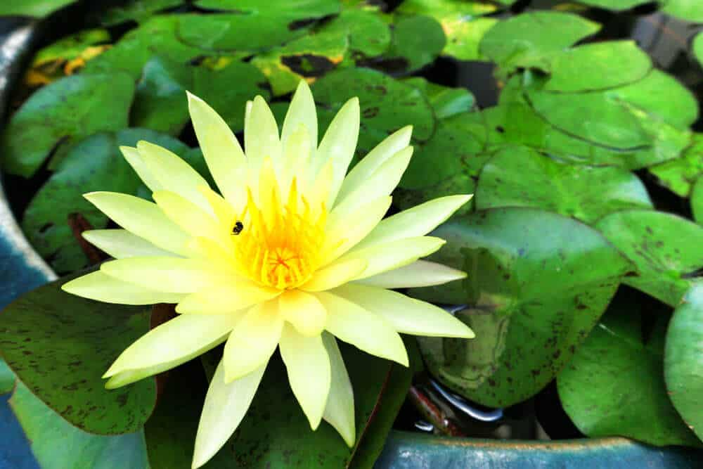 Pale yellow waterlily.