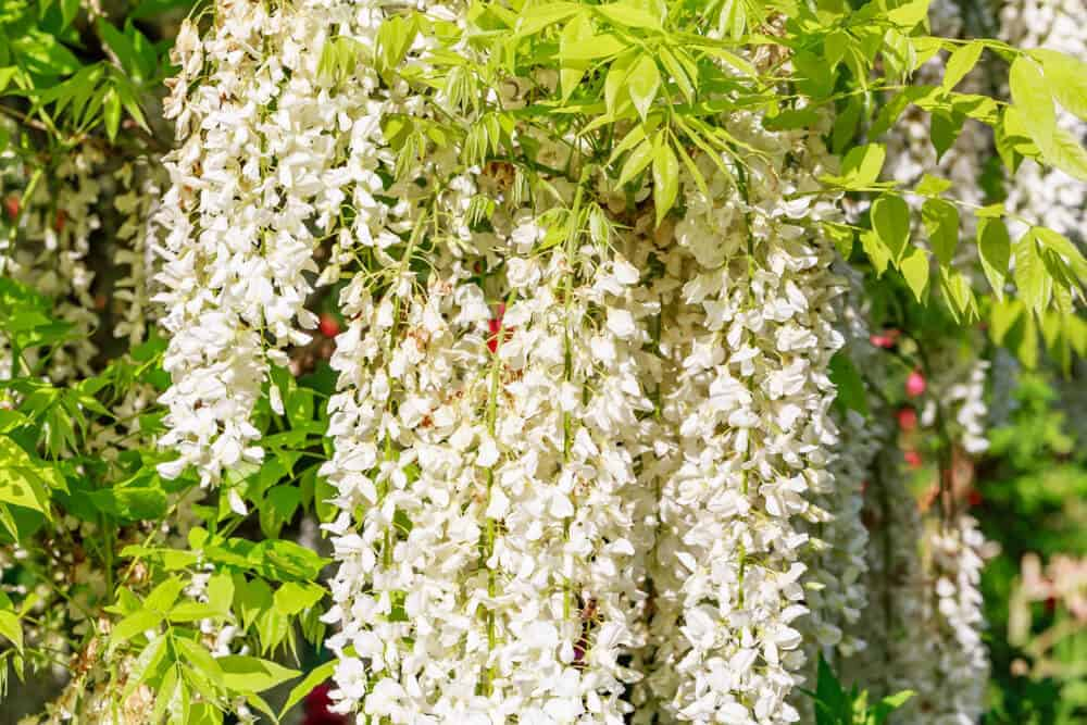 A bunch of white Wisteria hanging on tree.