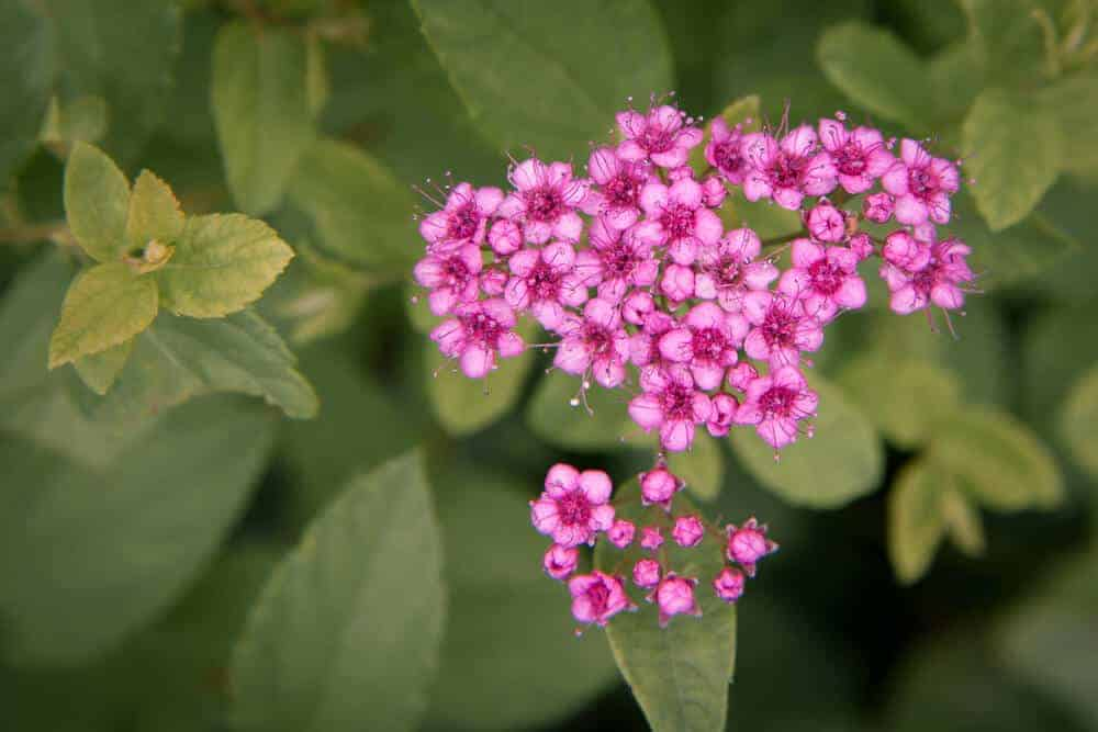 Fresh and Pink Yarrow flowers.