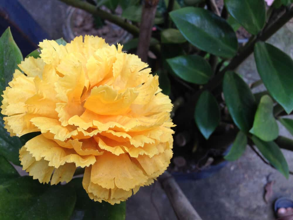 Top view of a yellow carnation in a pot.