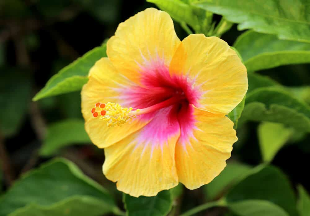 Hibiscus with Yellow petals and a reddish center.