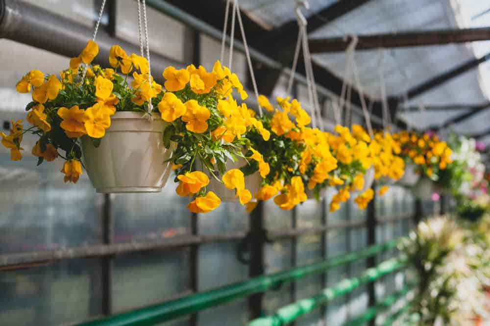 Yellow petunias in hanging baskets