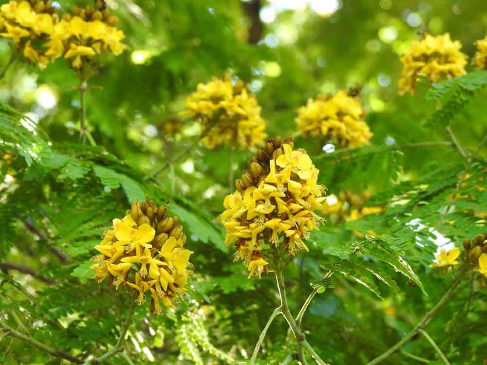 yellow sibipiruna flowers (Caesalpinia peltophoroides)