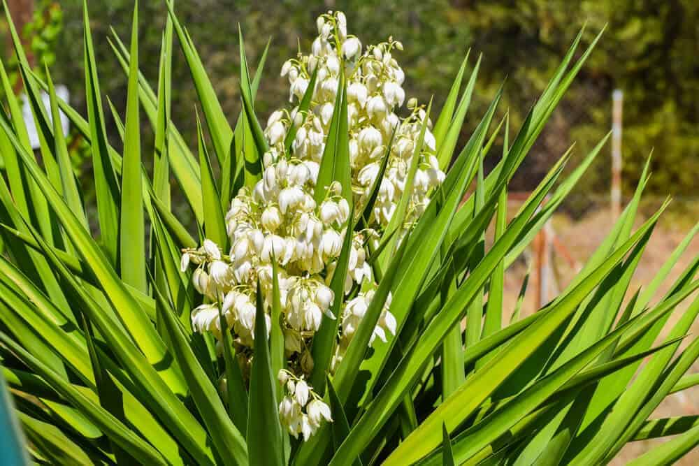 White Yucca blossoming in the garden.