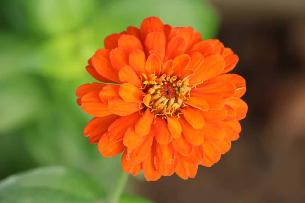 An orange Zinnia in full bloom.