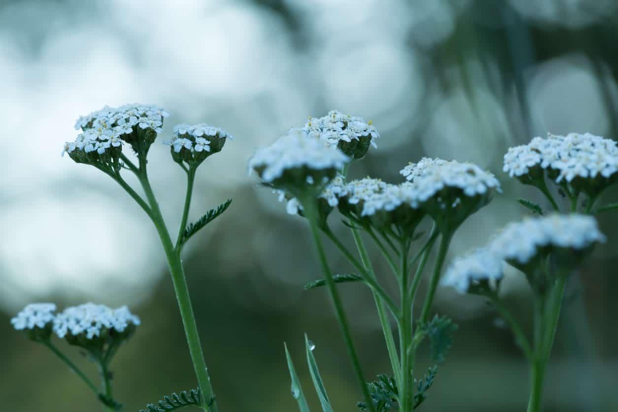 43 different types of daisies achillea millefolium izmirmasajfo