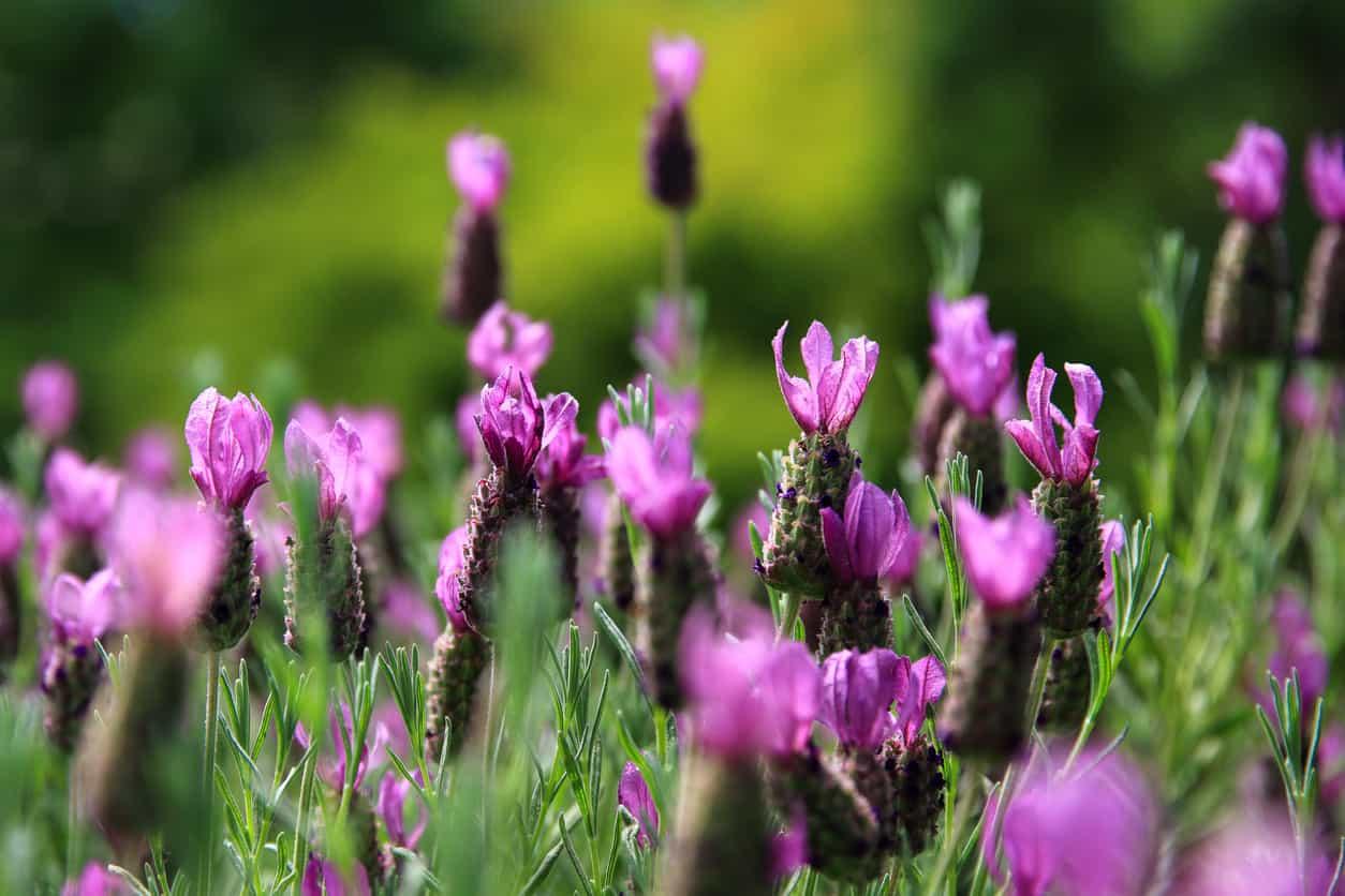 Anouk lavender