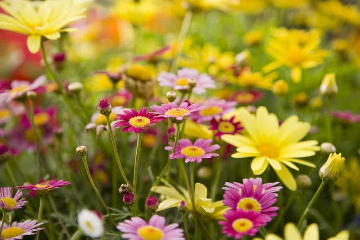 43 different types of daisies commonly known as the marguerite or paris daisy the type of daisy is full bloomed and comes in colors that include various shades of pink izmirmasajfo