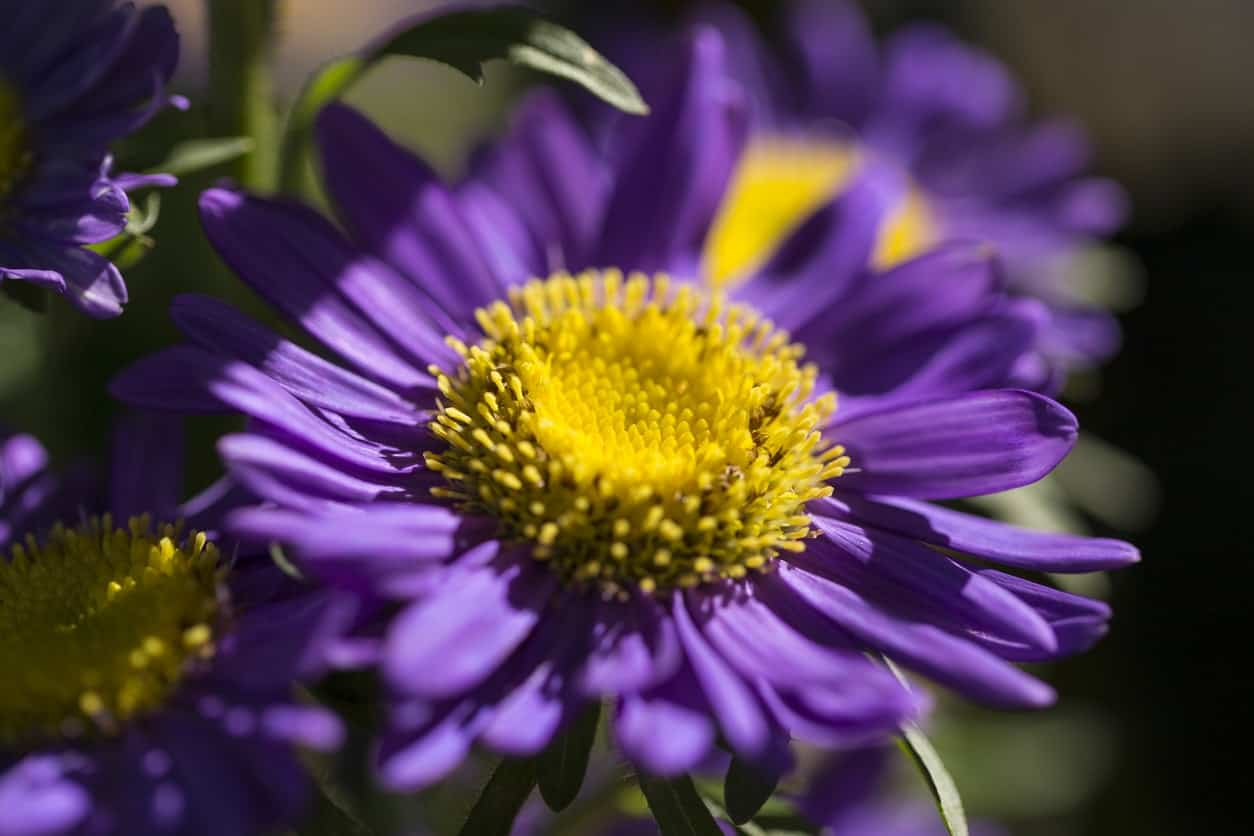 43 different types of daisies with bright yellow gold centers these flowers come in colors that include purple all shades of pink and even white there are many varieties of asters izmirmasajfo