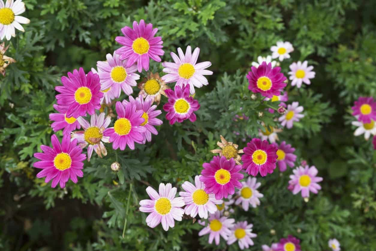 43 different types of daisies also known as the english common daisy this one has full blooms that are usually white or pink and a center that is the same color and protrudes slightly izmirmasajfo