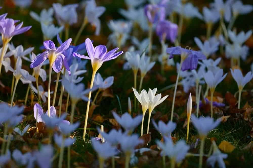 f3a86e1f2 42 Different Types of Crocus Flowers
