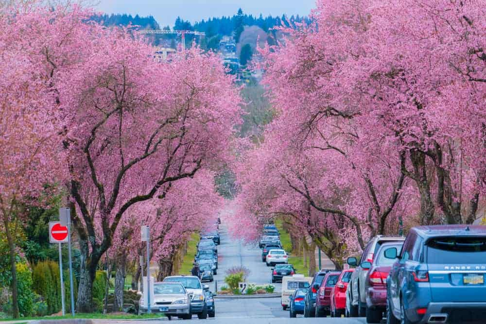 Street in Vancouver, BC lined with blooming cherry blossom trees