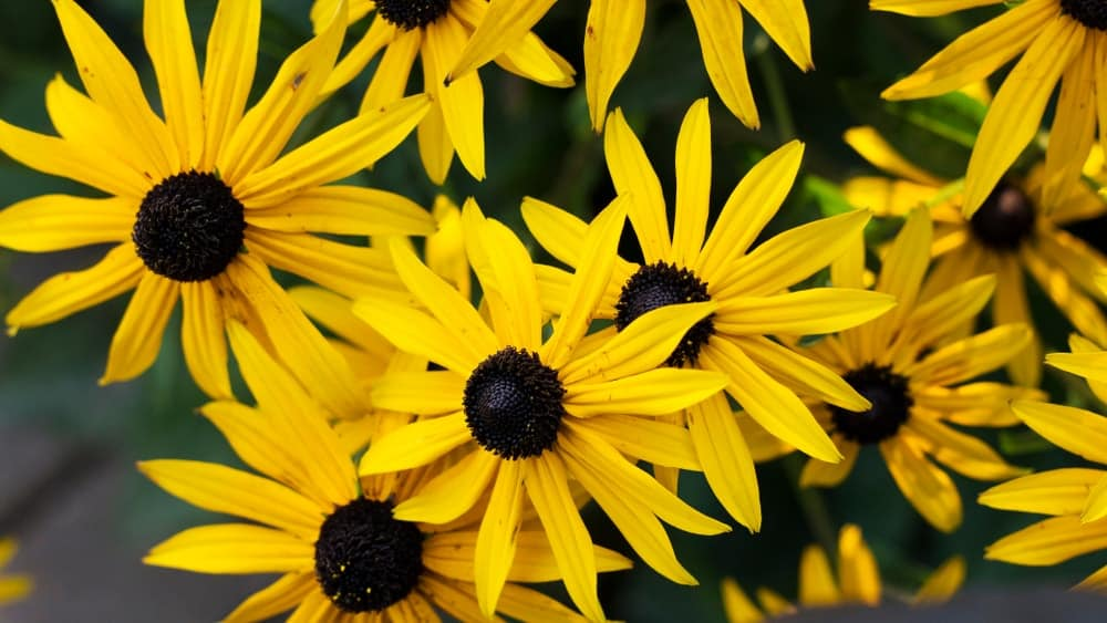 Clasping leaf coneflower