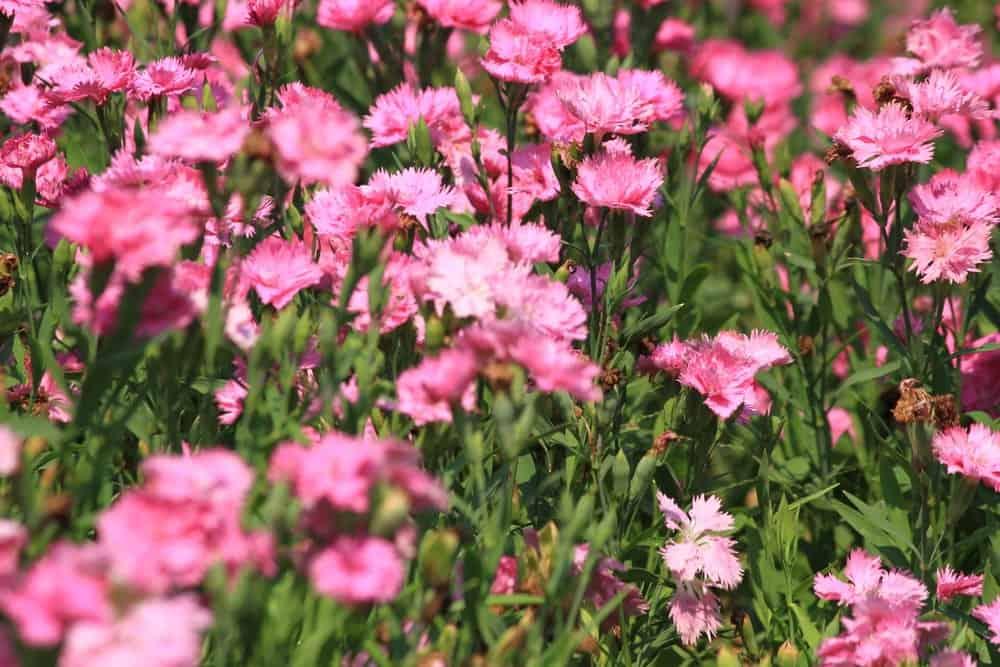 Dianthus Caryophyllus – Carnation