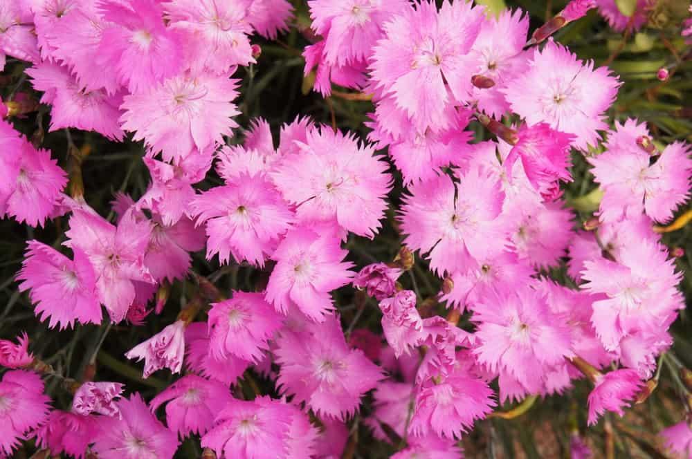 Dianthus Grataniapolitensis