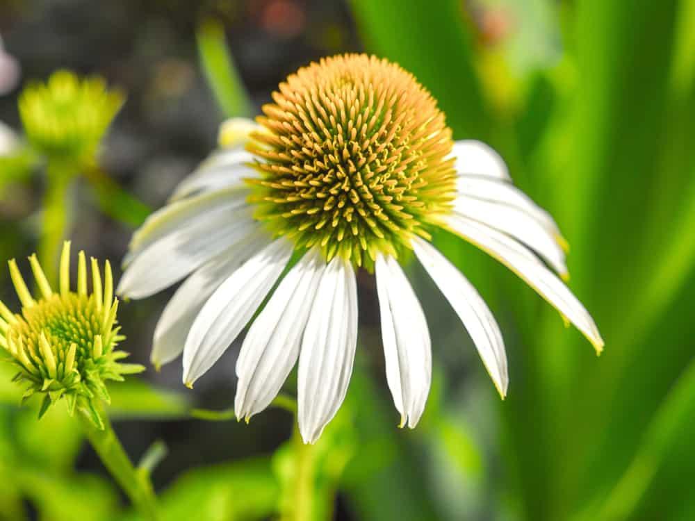 Echinacea purpurea Pow Wow® White