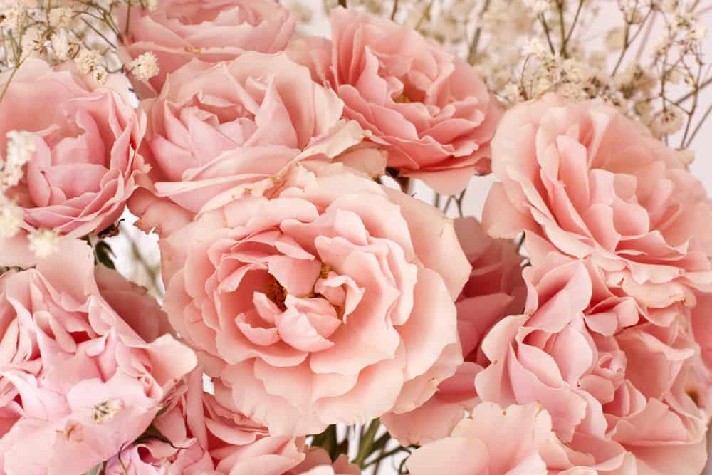 Etoile de Lyon tea rose
