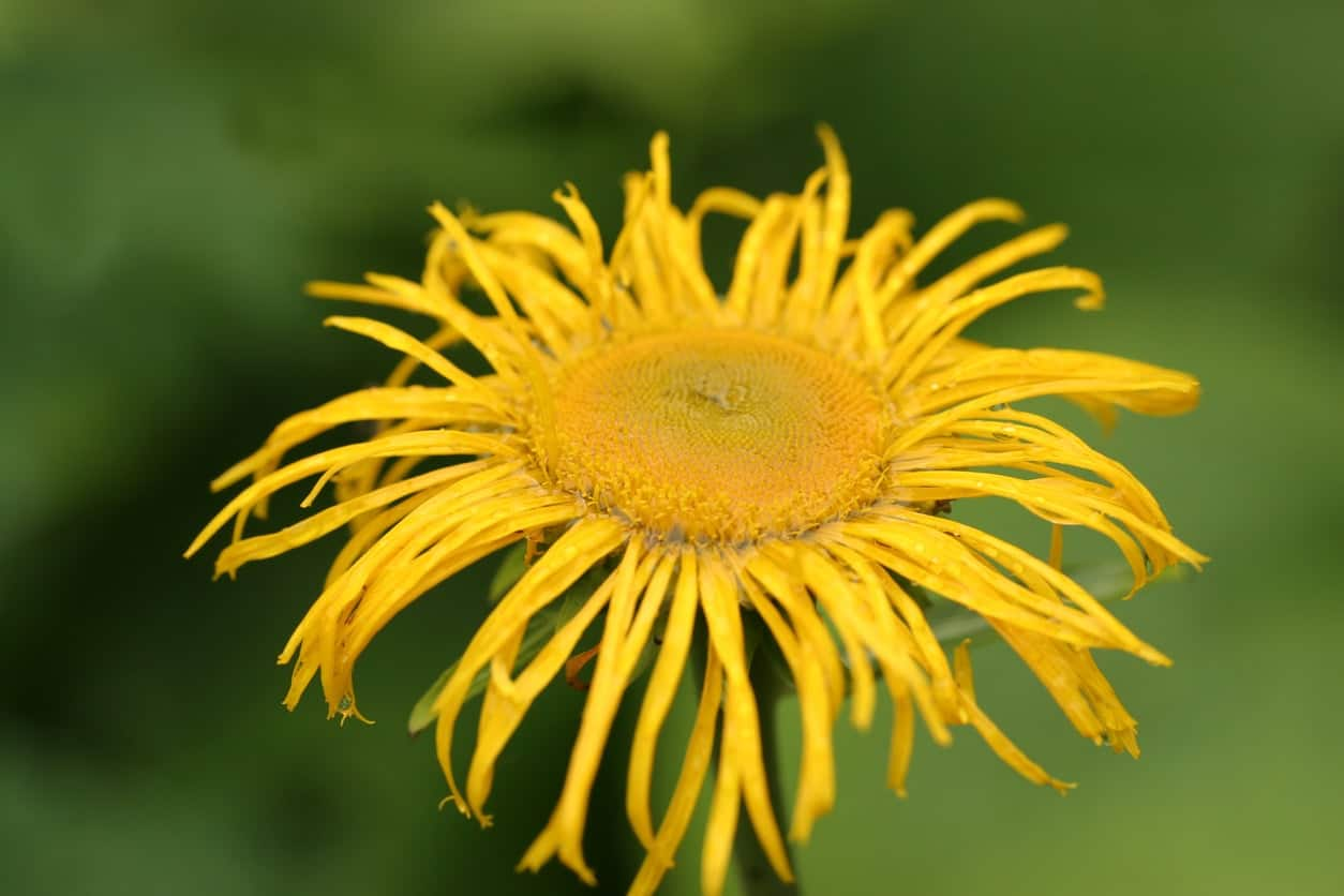 43 different types of daisies the inula is another yellow daisy plant with spiky spider like petals usually in bright yellow and a bright gold wide center izmirmasajfo