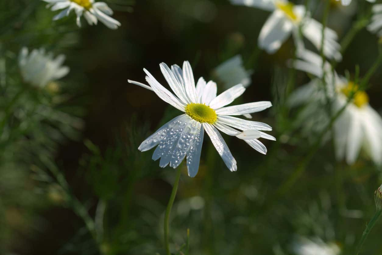 Kalimeris integrifolia - daisy flower