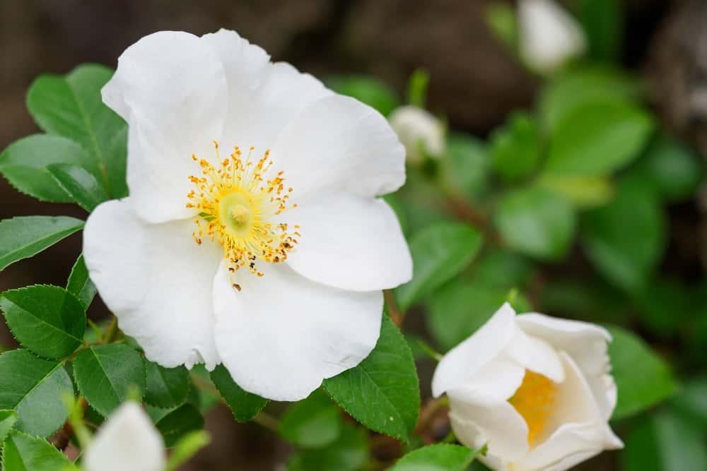 Laevigata roses