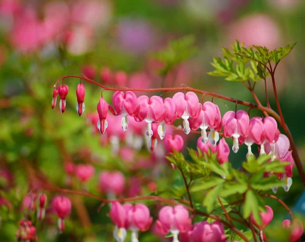 27 Different Types Of Bleeding Heart Flowers