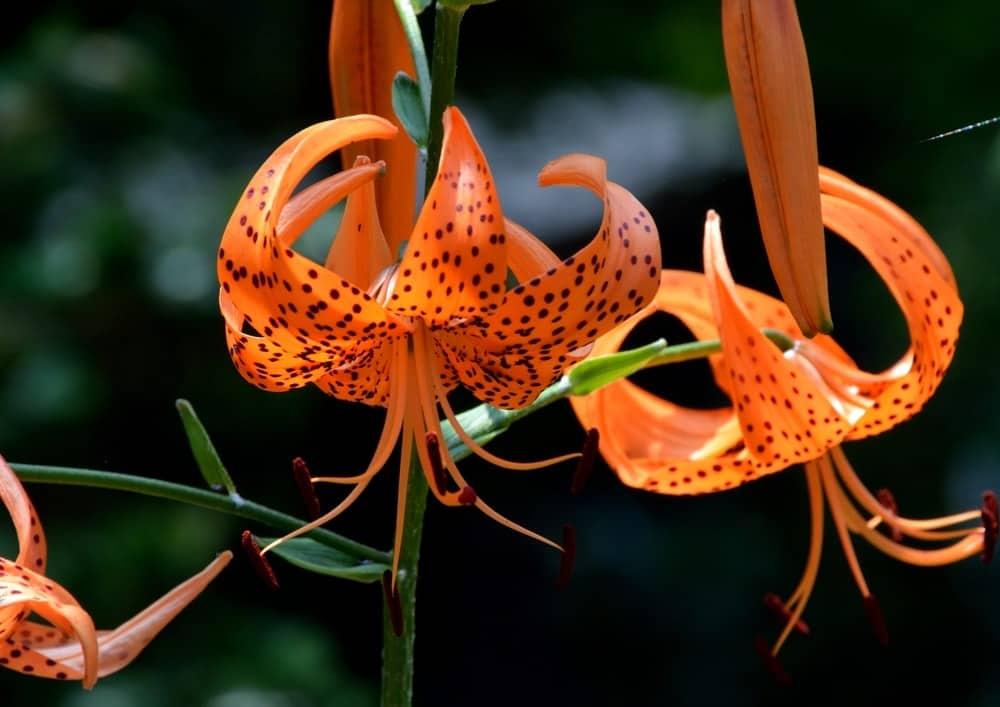 Leichtlinii Lily