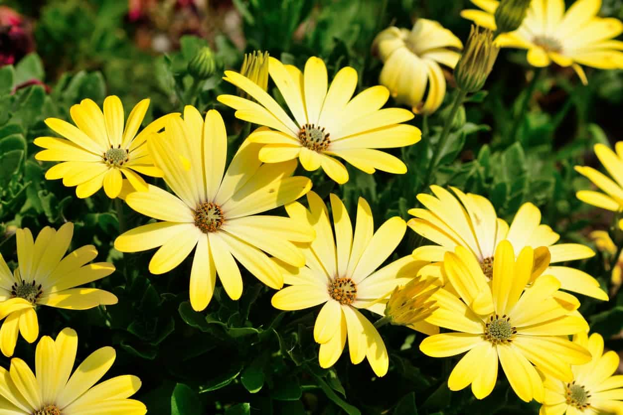 43 different types of daisies known as the blue eyed daisy or the cape daisy these flowers are fairly hardy perennials that are usually lavender blue in color with centers that are a izmirmasajfo