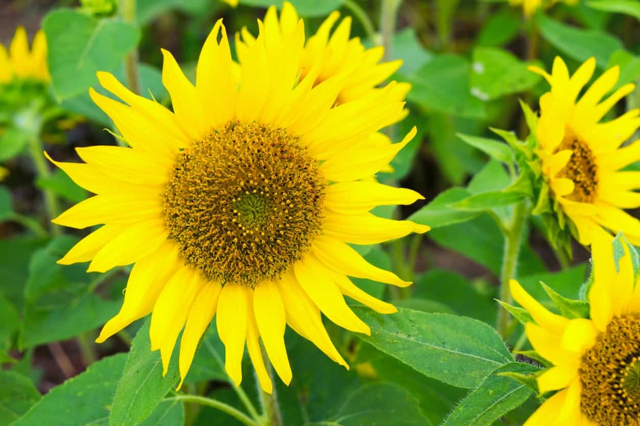 Pacino sunflower