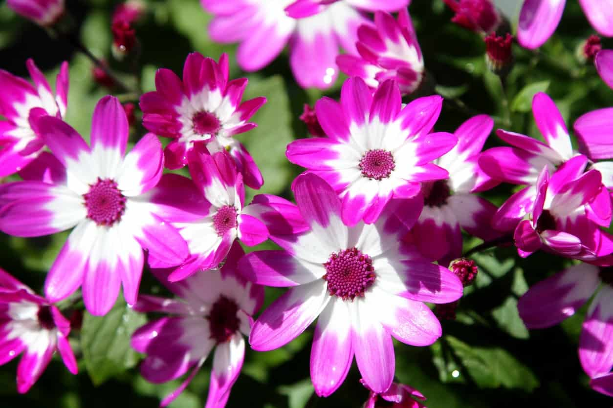 43 different types of daisies these flowers are striking because of their contrasting colors consisting of options that include white with purple tips and dark centers mightylinksfo