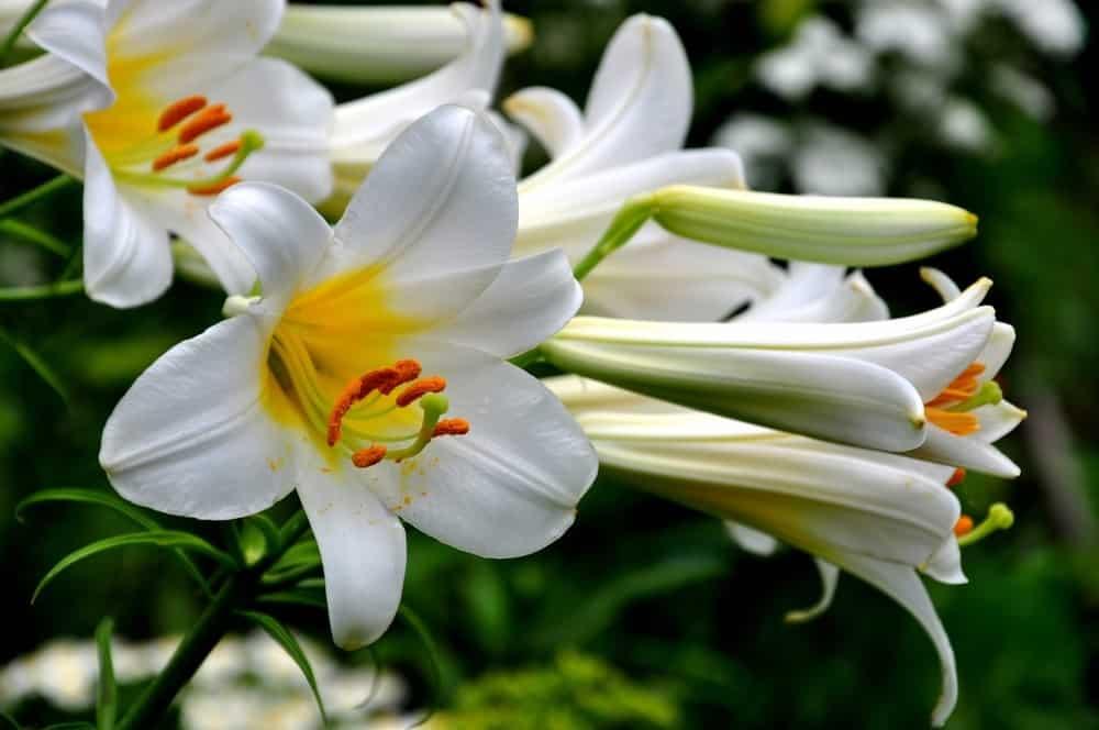 Robert Swanson lily
