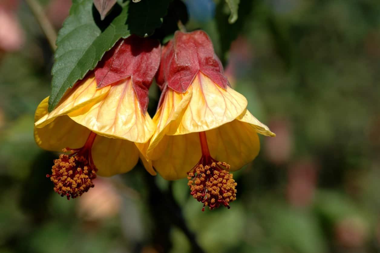 Abutilon flower.