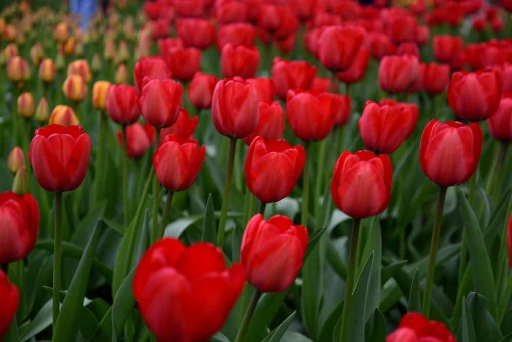 Ad rem tulips