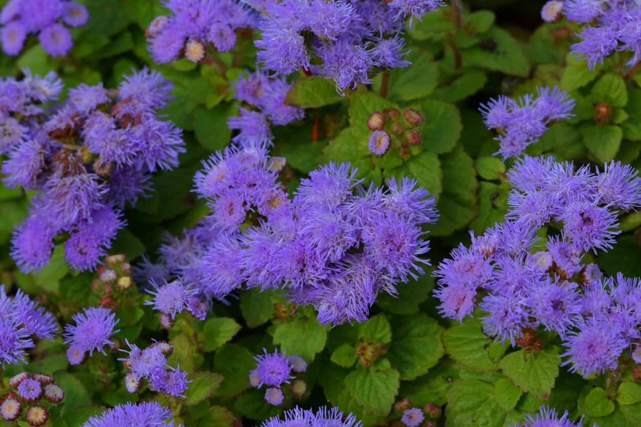 43 different types of daisies also known as bluemink blueweed and floss flower the ageratum has spiky looking petals that droop slightly creating an elegant look izmirmasajfo