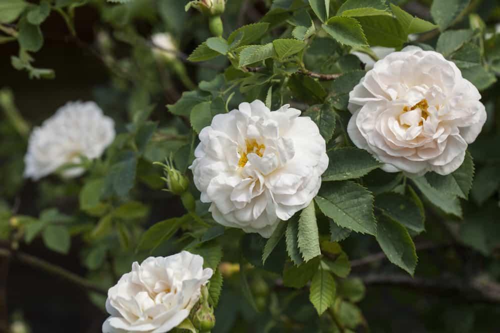 Alba Maxima roses