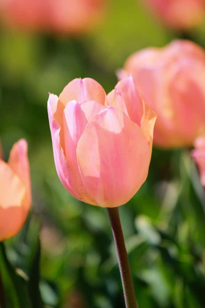 Apricot beauty tulips