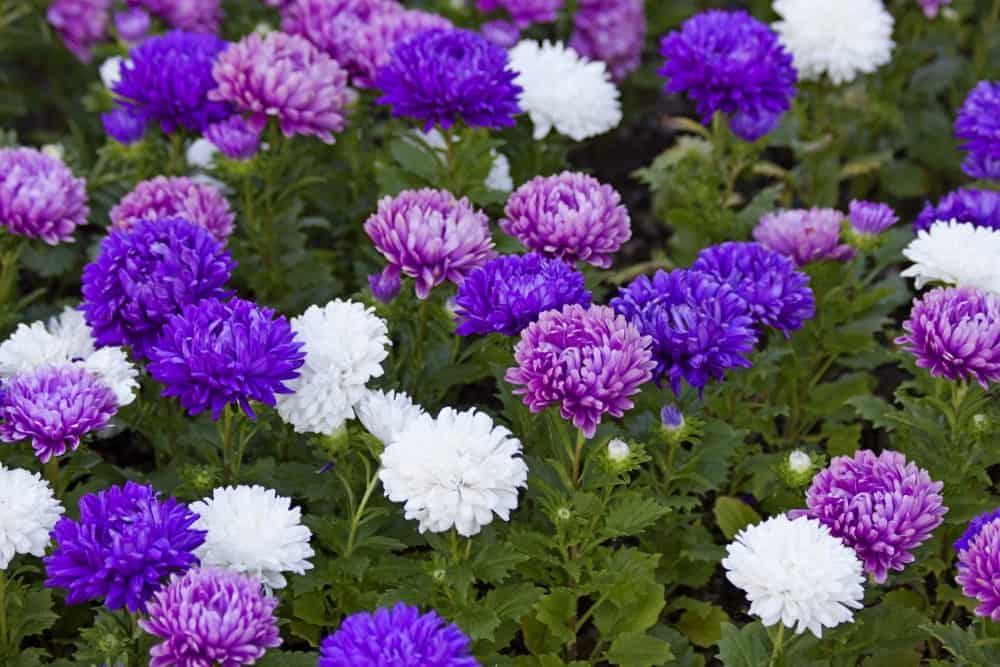 Aster flowers.