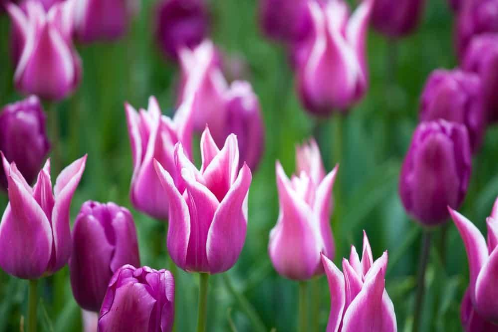 Ballade tulips