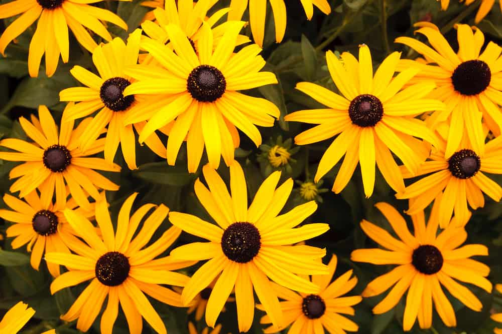 A group of black eyed susan flowers.