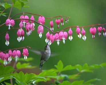 Bleeding heart flowers.