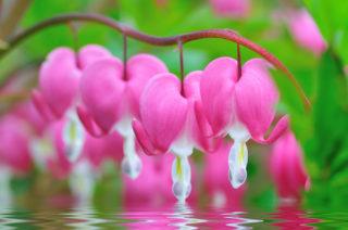27 Different Types of Bleeding Heart Flowers