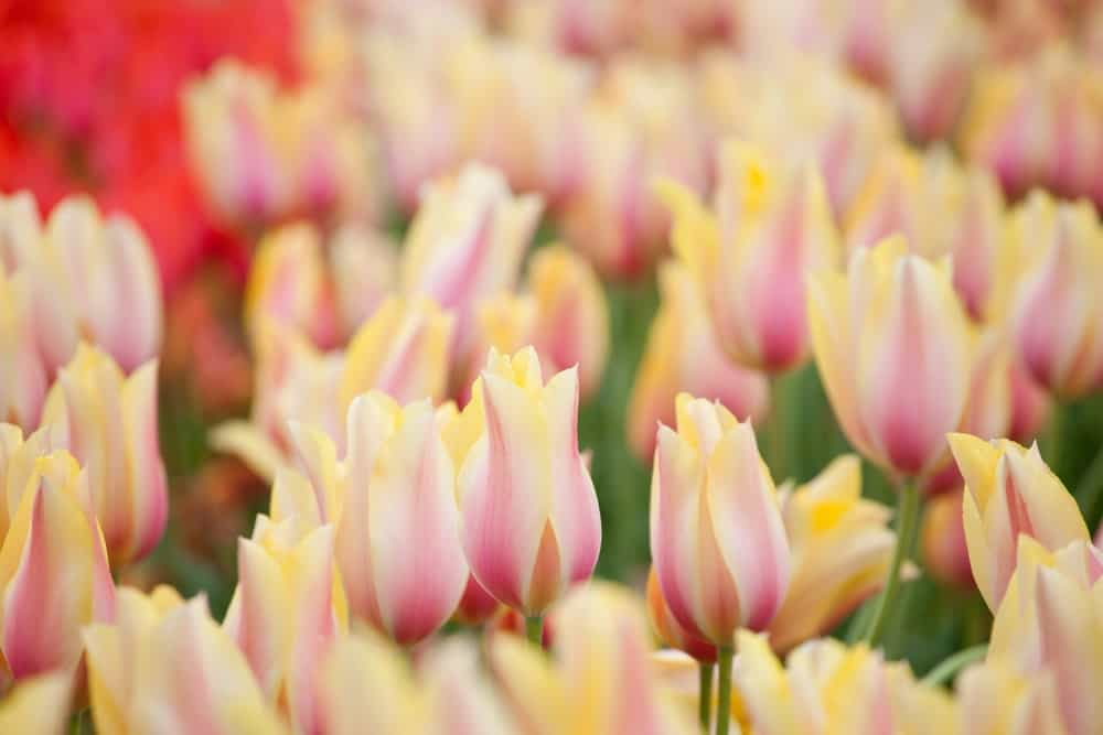 Blushing beauty tulips