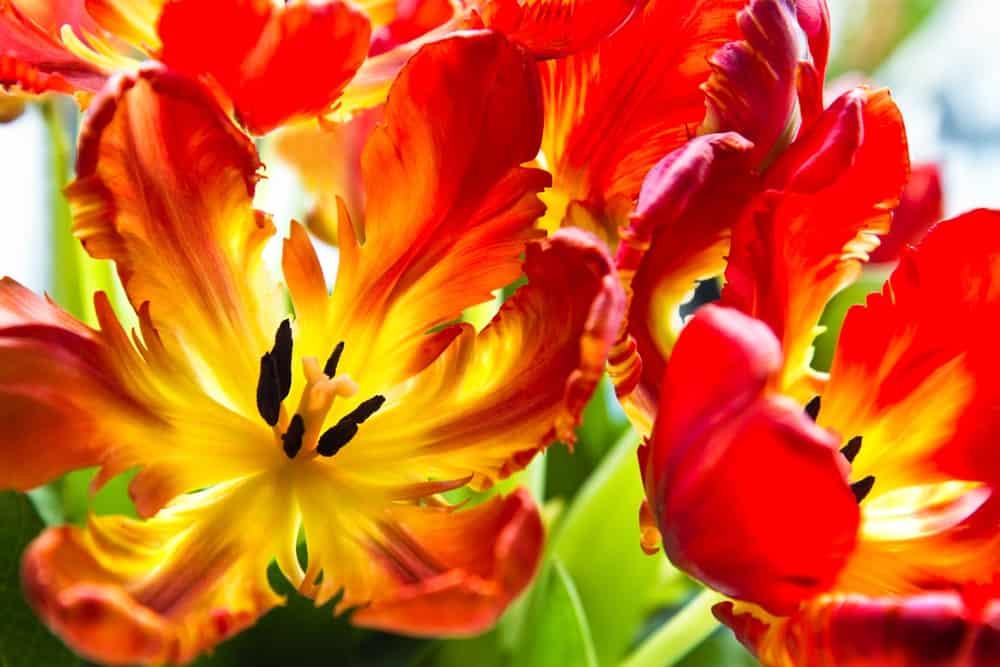 Bright parrot tulip