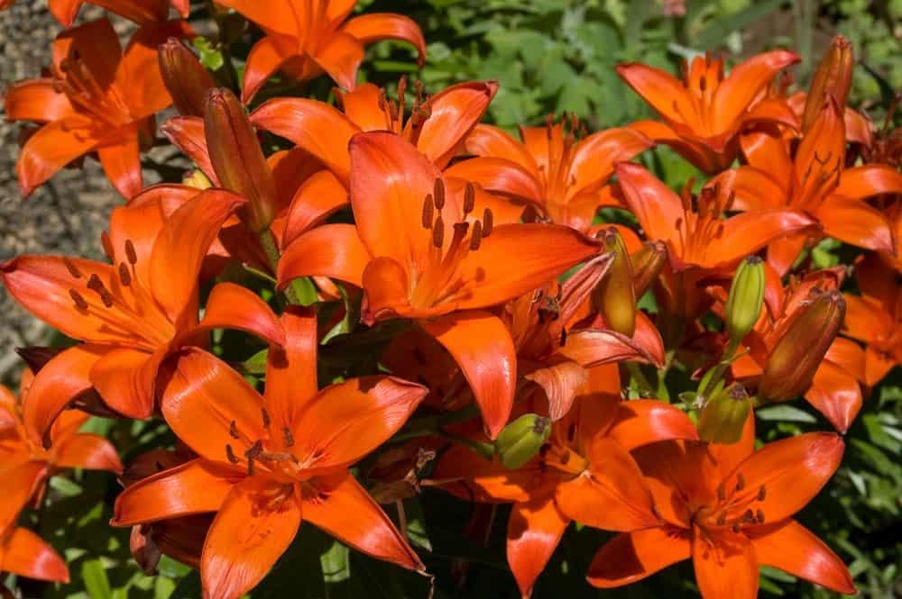 Brunello asiatic lily
